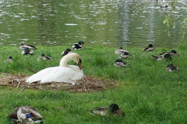 Nesting Swan Boston Common